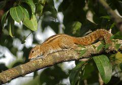 Palmenhörnchen