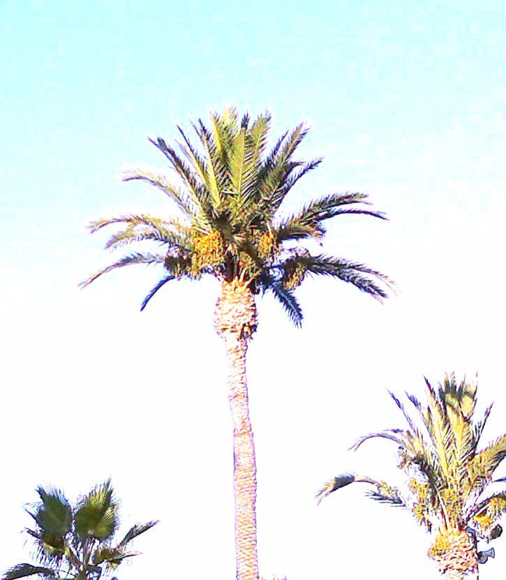 palmera (