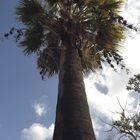 PALMERA (washingtonia filifera)