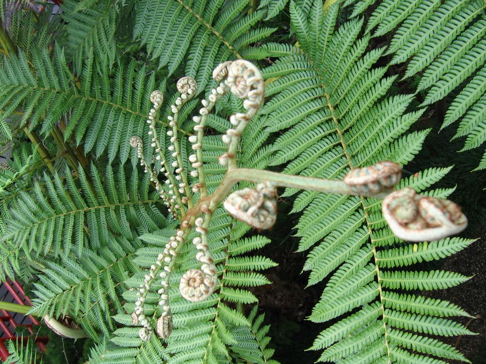 Palmfarn- Madeira- Tropical Garden