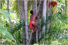 Palmfrucht Ernte