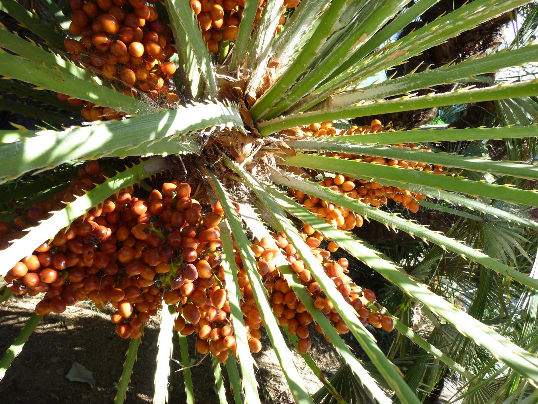 palmier en espagne