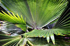 palmier en éventail