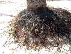 Palmwurzeln