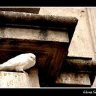 Paloma de blanco plumaje
