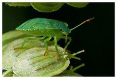 Palomena prasina (2)