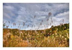 Pampas grass-2