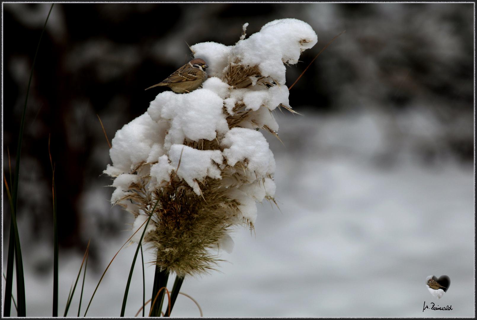 Pampasgras im Schnee