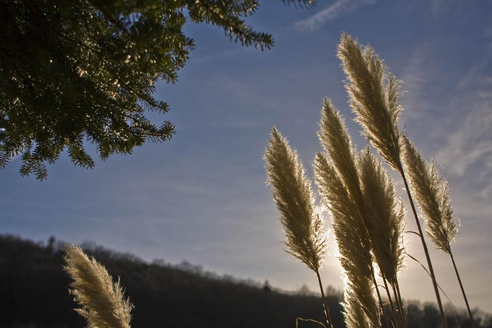 Pampasgras im Sonnenlicht