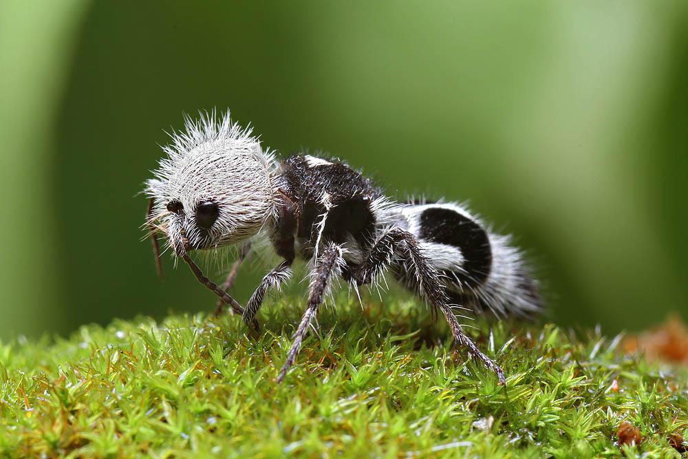 Panda Ant -Euspinolia ornatula