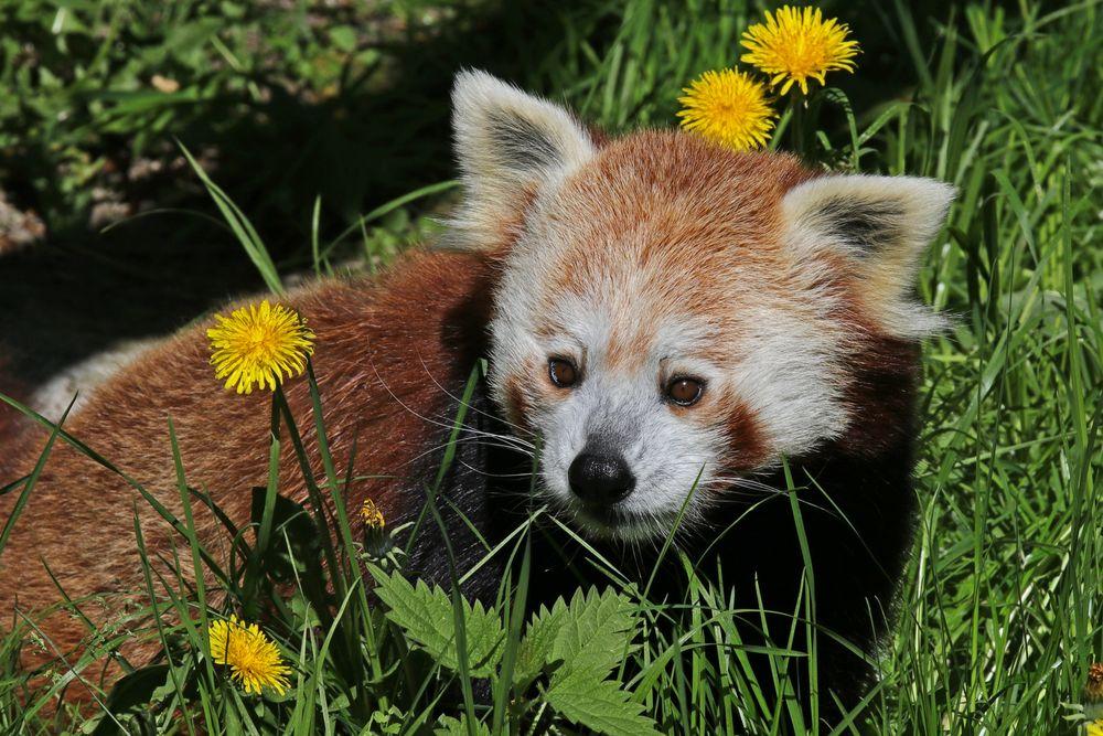 Panda auf der Blumenwiese