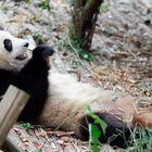 panda in chengdu