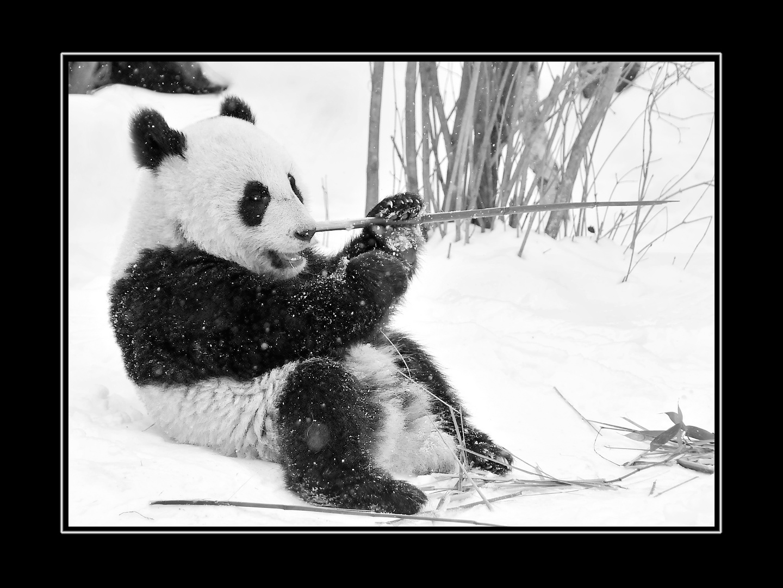 Panda in Schönbrunn
