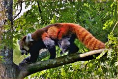panda roux à la queue spectaculaire ...