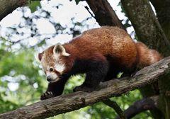 Pandabär im Tierpark Hellabrunn