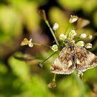 Panemeria tenebrata, Hornkraut-Tageulchen