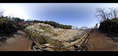 Panorama of Plum Orchard