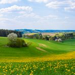 Panoramabild: Löwenzahn-Sommerwiese in Eisborn (bei Hemer im Sauerland)