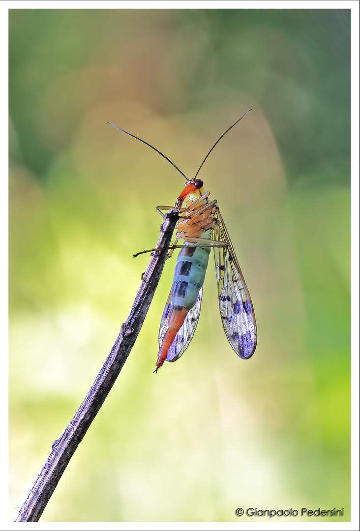 Panorpa communis (femmina)
