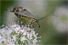 Panorpa communis mâle