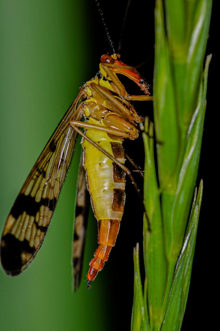 Panorpa communis (mosca scorpione) femmina
