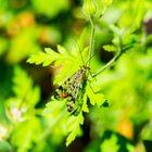 Panorpide maschio