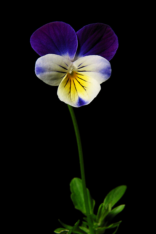 Pansy in the Dark