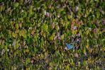 Pantanal [46] - Suchbild blauer Vogel