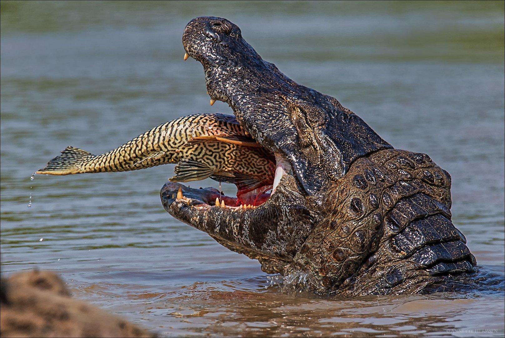 Pantanal [47] - Mahlzeit