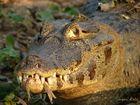 Pantanal: Jacaré