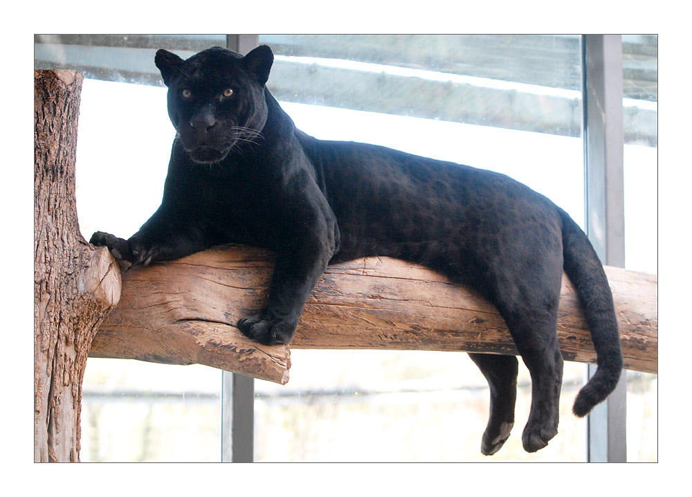 Panther / Black Jaguar