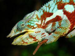 Panther-Chamäleon in Madagaskar