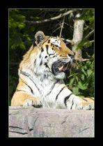 Panthera tigris altaica.