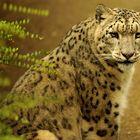 Panthera uncia - IRBIS
