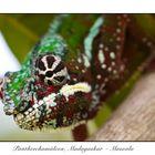 Pantherchamäleon im Masoala-Regenwald