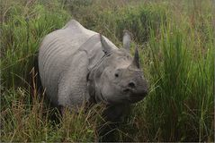 panzernashorn, great one-horned rhinoceros, rhinoceros unicornis