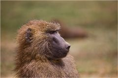 papa baboon