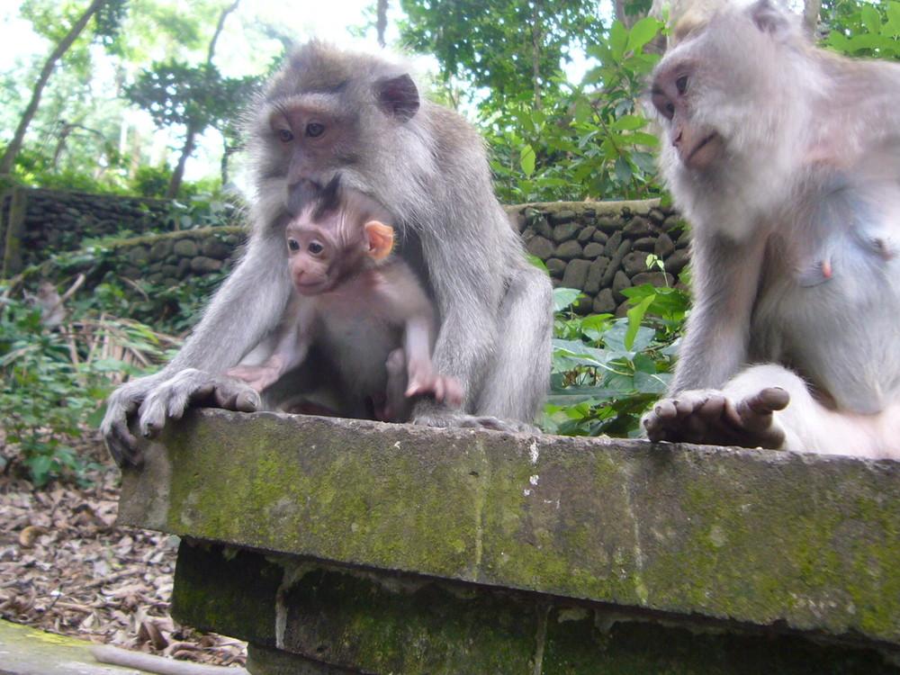 Papa Monkey, Mama Monkey, Baby Monkey