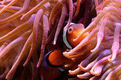 Papa Nemo