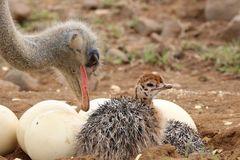 Papa Strauß mit Baby Strauß am Nest