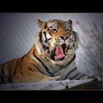 Papa Tiger nahm es gelassen...