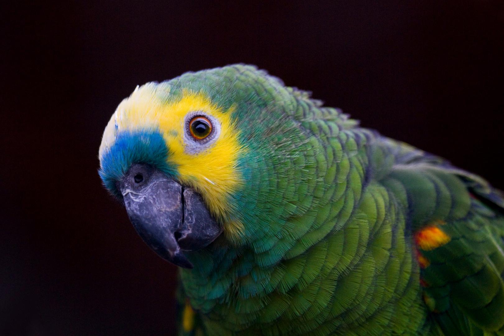Papagei.... aber welcher ?