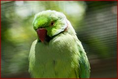 Papagei in grün - rot