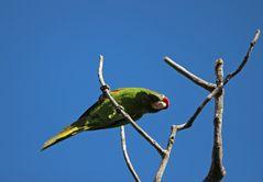 Papagei, Regenwald, Costa Rica