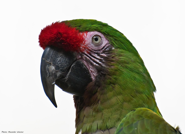 Papagei - Zoo Berlin