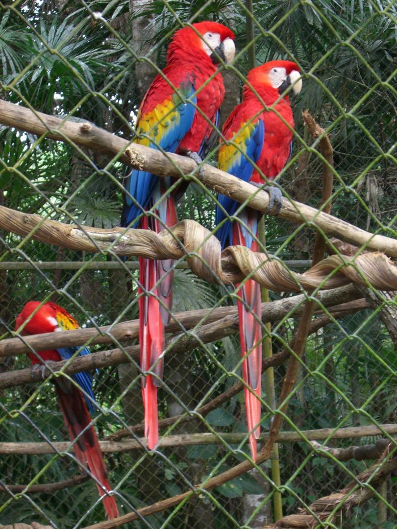 papageien im zoo von roatan honduras foto bild tiere. Black Bedroom Furniture Sets. Home Design Ideas