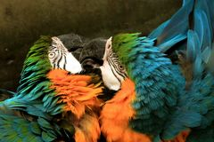 Papageien Liebe