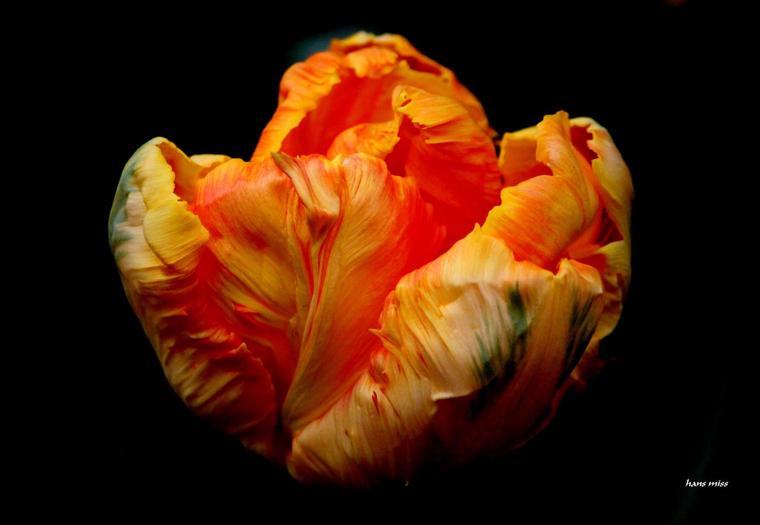 Papageien Tulpe