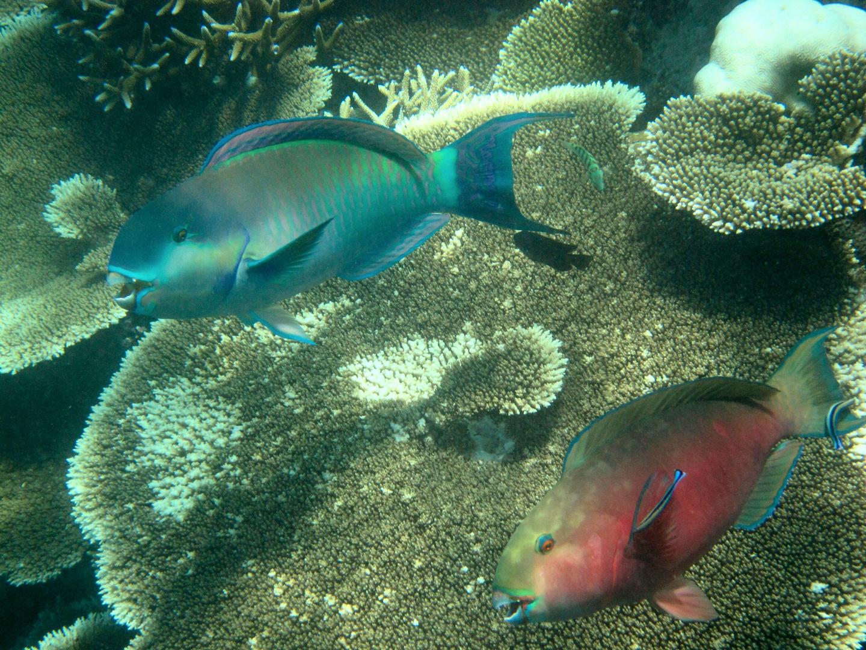 Papageienfischpaar auf Putzerstation