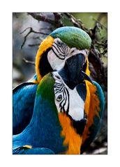 Papageienpäarchen
